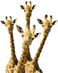 image of curious giraffes. Collaboration. With shrinking resources and expanding needs, no one can do it alone. How do you turn the diverse interests and strengths of all the players into strategic partnerships and successful collaboration?